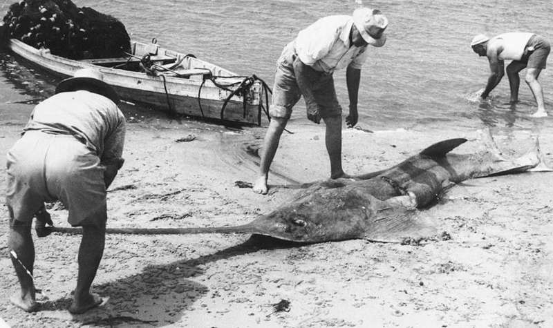 fisher men standing next to large sawfish on beach. Wooden canoe with fishing nets in the background